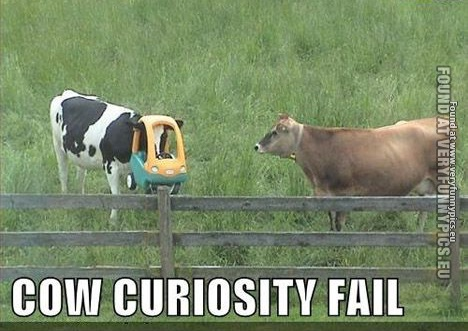 Cow curiosity