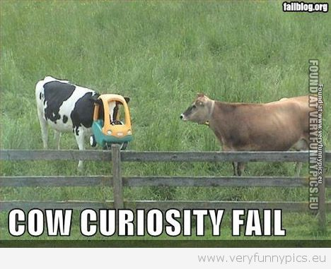 Funny Pictures - Cow Curiosity