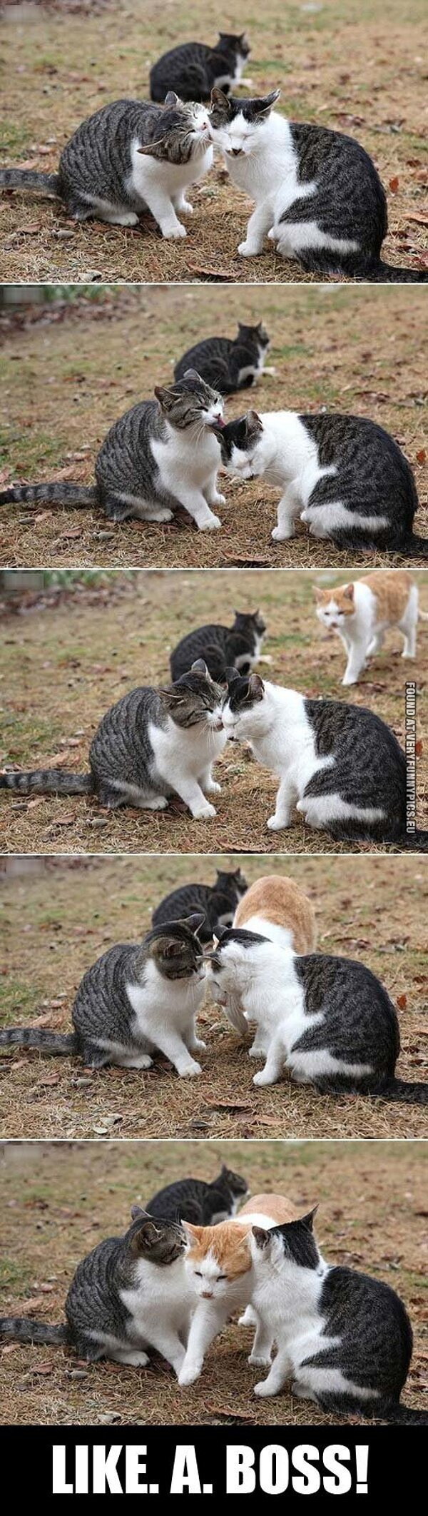 Funny Picture - Cat goes between two other cats - Like a boss