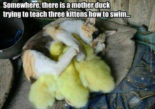 Cat taking care of ducklings