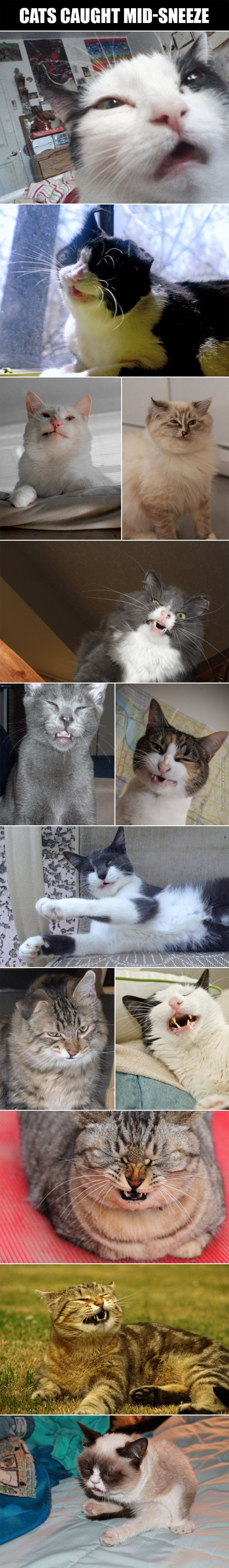 Cats caught mid-sneeze
