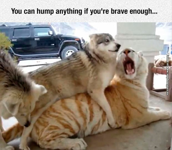 funny-pictures-brave-dog-and-tiger