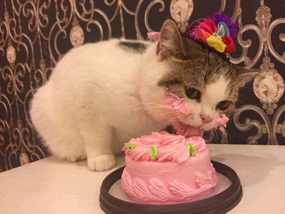 Cat eating cake 01