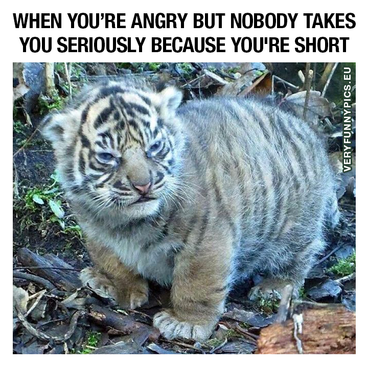 Small fluffy angry tiger