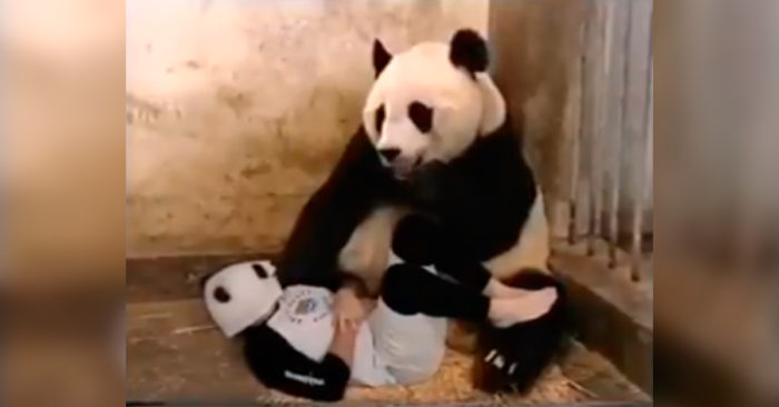 VIDEO: If this funny panda reaction doesn't make you laugh, nothing will!