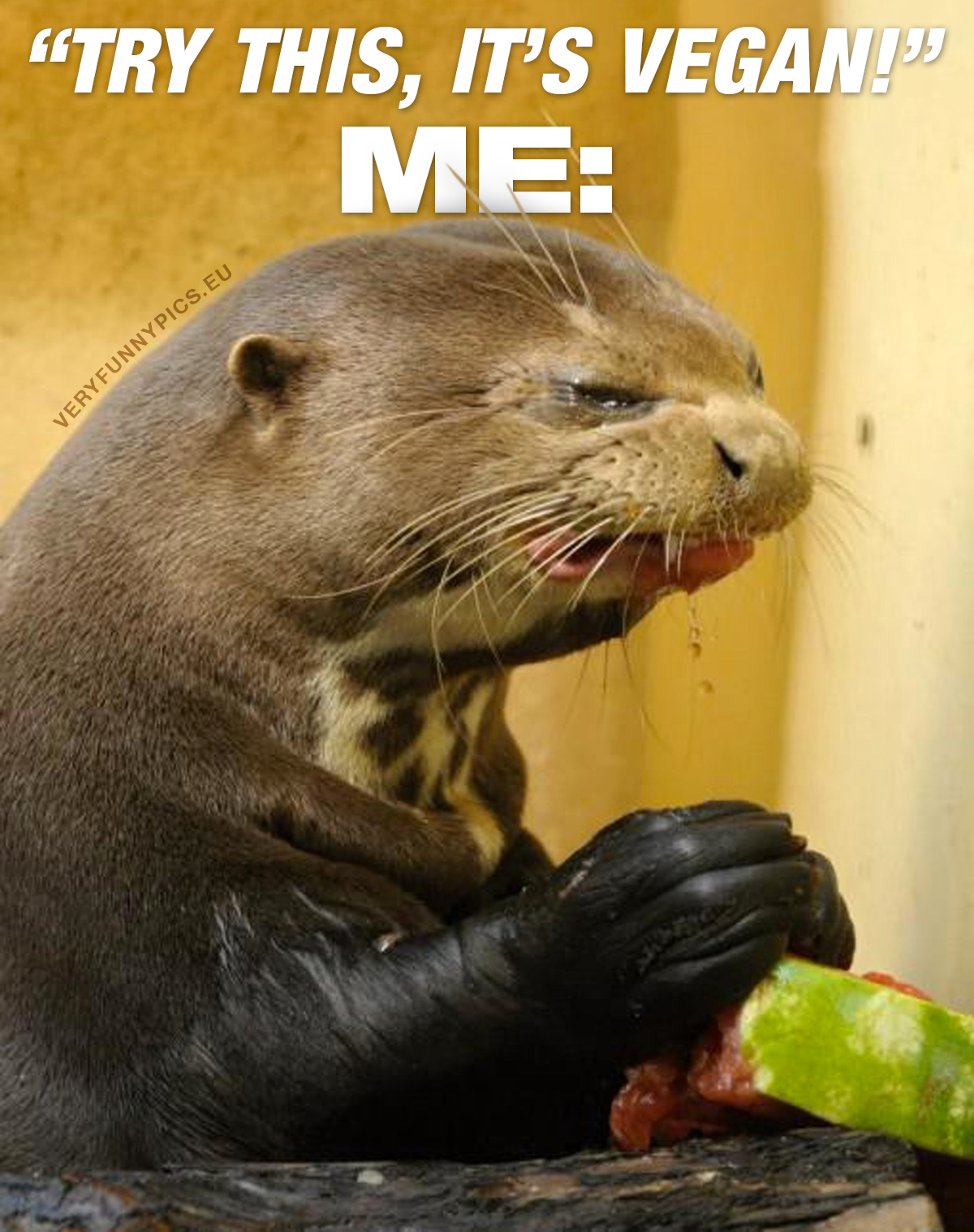Grumpy otter eating water melon