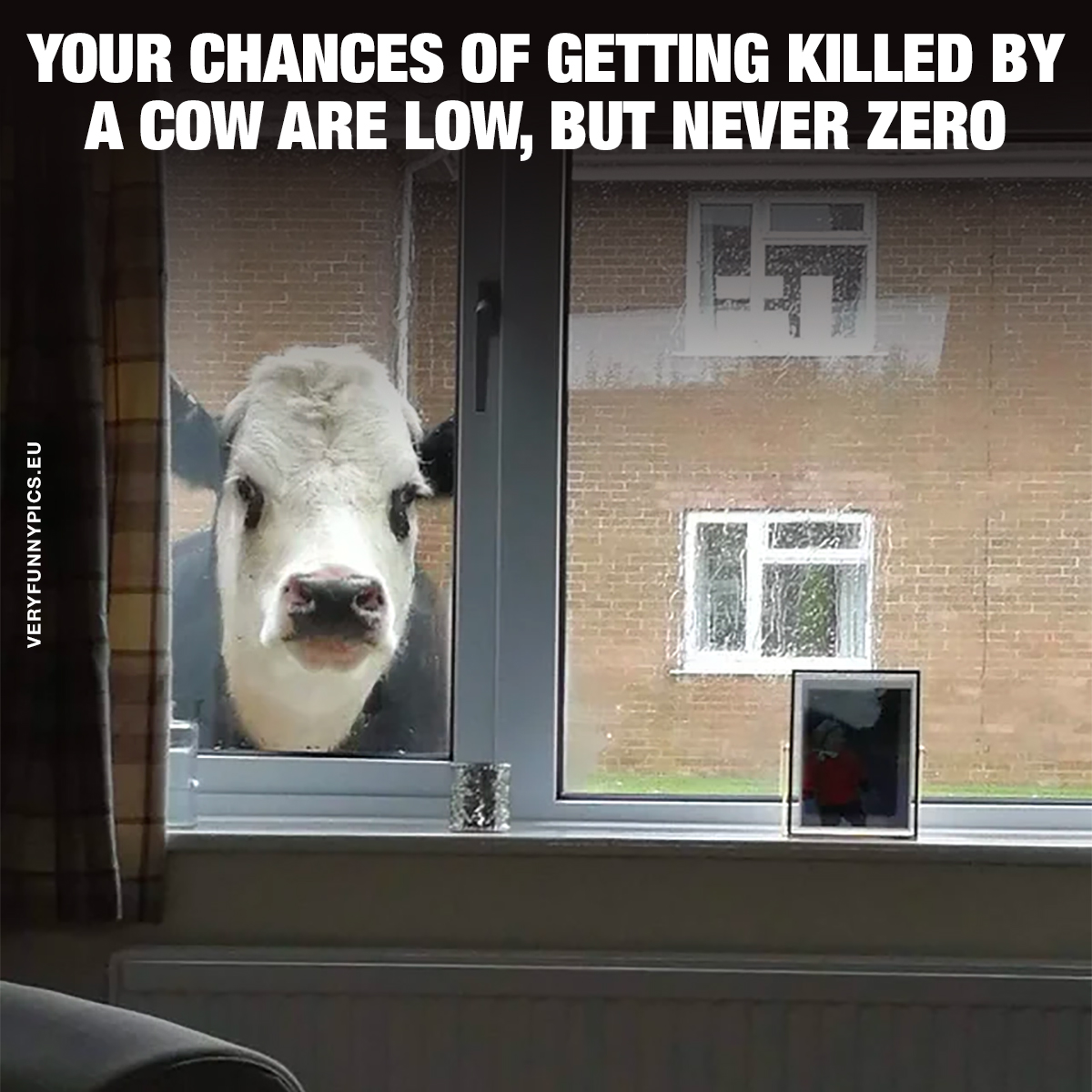 Cow looking in through window